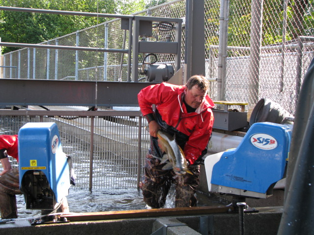 Will Henderson sorting male and female chinook for spawning