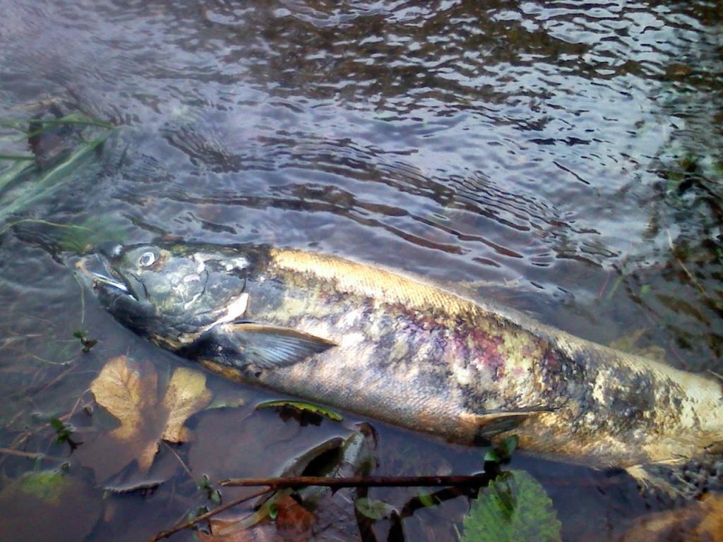 Dead Kennedy Creek Chum