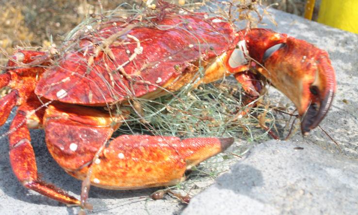 Entangled Red Rock Crab