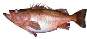 BocaccioRockfish